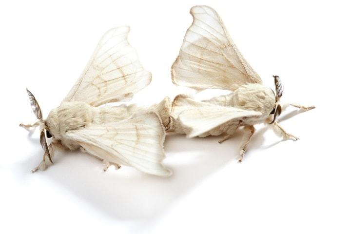 Silkworm butterlfy - serrapeptase